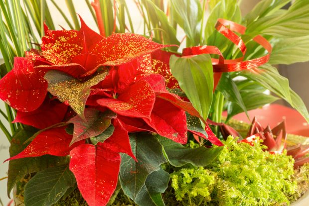 Horizontal composition color photography of a beautiful floral composition, plant bouquet with multiple plant type used to celebrate holidays (Christmas, New Year, or just a gift...). There are a Poinsettia with some golden glitter on vibrant red leaves, Peace Lily (Spathiphyllum), Echeveria succulent plant colored in red, some green moss etc... Close-up on the red plant leaf of Poinsettia (Euphorbia pulcherrima) with small golden glitter / flakes to offer on Christmas Holidays. Picture shot with soft focus.